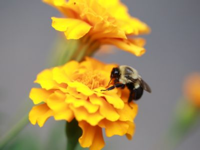 Bee In Yellow Flower