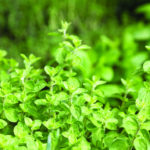 Oregano Smaller