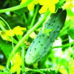 Cucumber Web
