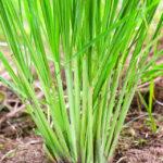Lemongrass Closeup Istock